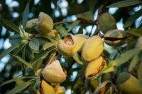 almonds-989529_640