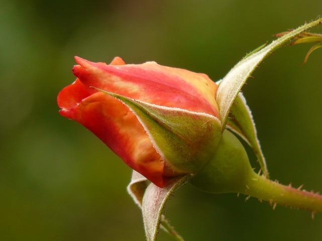 bocciolo-rosa2