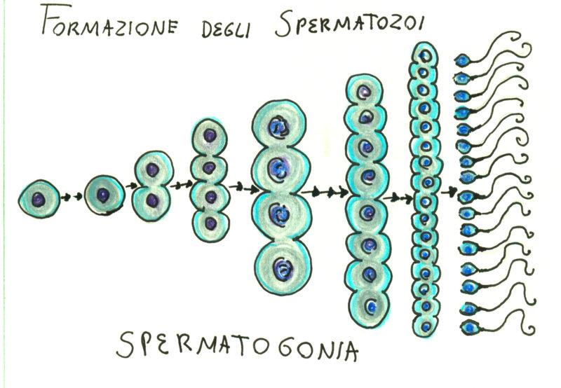 spermatogonie