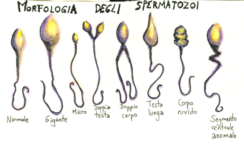 morphologie spermatozoides
